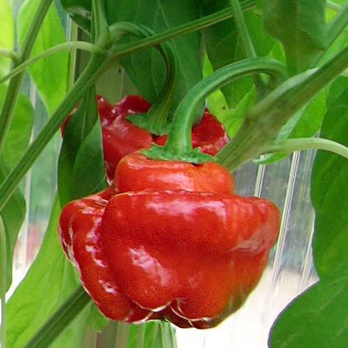 Scotch Bonnet Red Chili Samen