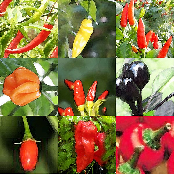 Bunte Mischung Chili Samen