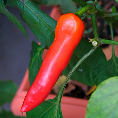 Hungarian Wax Hot Chili Samen