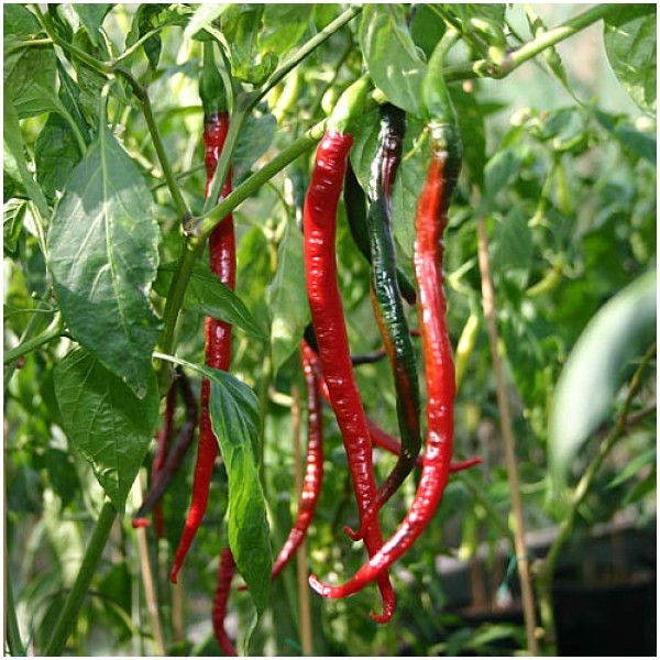 Joes Long Pepper Chili Samen